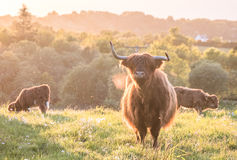 Swarm of midges attacking highland cows. During sunset Royalty Free Stock Photos