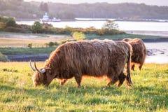 Swarm of midges attacking highland cows Stock Photos