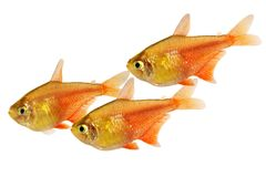 Swarm of Orange Red Flame Tetra Hyphessobrycon flammeus Rio tetra tropical aquarium fish. Fish Royalty Free Stock Photography