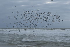 Swarm oysercatchers over Dutch Northsea. Oystercatchers flying in swarm on the coast near the little village Petten Royalty Free Stock Images