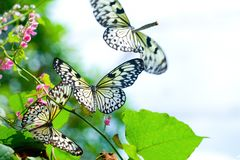 Swarm of Paper Kite butterfly Stock Images