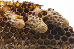 Swarm queen cells, emergency queen cells, artificial queen cells with bee queens Stock Photography