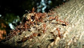 A Swarm of Red Ants