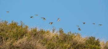 Swarm of Rock Sparrows in flight Stock Image