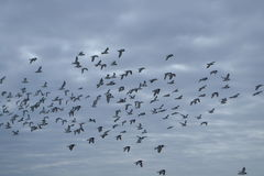 Swarm seagulls over Dutch Northsea. Sea gulls flying in swarm on the coast near the little village Petten Stock Images