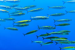 Swarm of silver fishes Stock Images