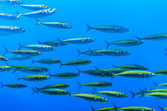 Swarm of silver fishes in the sea. Swarm of silver fishes in the blue sea Stock Images