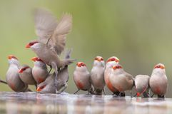 Swarm of small and beautiful Common Waxbill drinking water at po Stock Photography