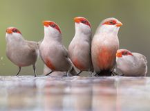 Swarm of small and beautiful Common Waxbill drinking water at po Royalty Free Stock Images