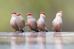Swarm of small and beautiful Common Waxbill drinking water at po Royalty Free Stock Image