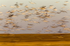 Swarm of Snow Geese. In Saskatchewan Canada blurred panned Royalty Free Stock Photography