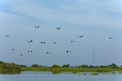 Swarm of storks Royalty Free Stock Photography
