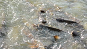 Swarm of striped catfish (or Iridescent shark) - found in Southeast Asia stock footage