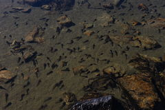 Swarm of swimming tadpoles in a lake Royalty Free Stock Image
