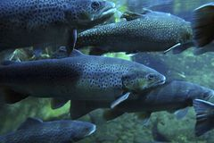 Swarm of Trouts Royalty Free Stock Photos