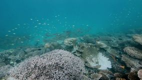 A swarm twospot snapper stock footage