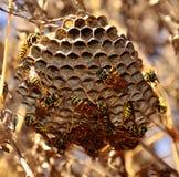 Swarm of wasps walking around the nest. Multitude of wasps under the nest Stock Image