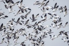 Swarm of white fronted geese,flying,feathers,wings,wildlife Stock Images