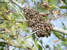 Swarm of wild bees. In a tree Stock Image