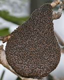 A big swarm of wild bees on a tree. Swarm of wild bees on a tree Royalty Free Stock Photography