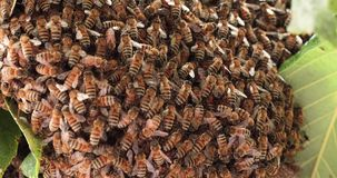 Swarm of working bees. In a tree protecting the queen bee stock footage