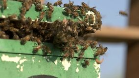 Bee swarm just moved into a polystyrene apiary stock video