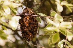 swarming пчел Стоковая Фотография RF