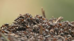 Swarming ants (Formica rufa). stock video footage