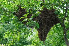 Swarming bees. Formation of a new colony family bees. Bees that can fly at some point fly out of the hive. They re going stock photo