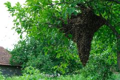 Swarming bees. Formation of a new colony family bees. Bees that can fly at some point fly out of the hive. They re going royalty free stock photos