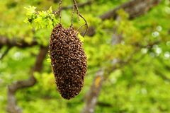 Free Swarming Honey Bees In A Tree. Stock Photography - 146965772