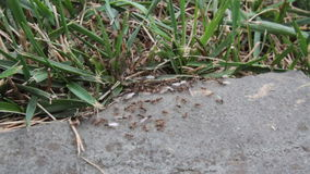 Swarming Winged Ants Royalty Free Stock Images
