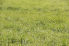 Swarms of mosquitoes over a grass field Royalty Free Stock Images