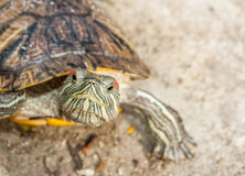 Süßwasserschildkröte Stockbild