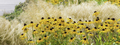 Swath of Black-Eyed Susans Stock Images