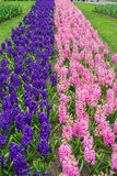 Swath of pink and purple hyacinths in spring Royalty Free Stock Image