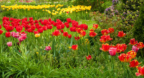 Swath of tulips Stock Image