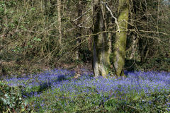 A Swathe of Bluebells Royalty Free Stock Images
