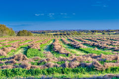 Swathed cereal  grasses hay field Royalty Free Stock Image