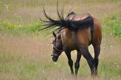 Swatting Flies. A beautiful brown horse is grazing peacefully on a farm. The horse moves its wonderful black tail to ward off insects Stock Photo