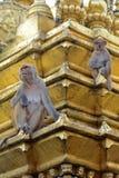 两只短尾猿在顶部在Swayambhunath,尼泊尔chorten 库存图片
