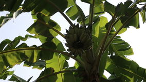 Swaying banana leaves and green banana cluster. Banana leaves contain large amounts of polyphenols and polyphenol oxidase enzymes stock footage
