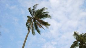Swaying Coconut Palm Tree Against the Blue Sky with White Clouds. HD Slowmotion. Thailand. stock video
