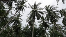 Swaying coconut palm trees in jungles. weather exchange. before storm. Tropical island view with palm trees. static frame stock footage