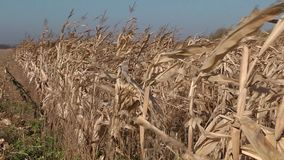 Swaying corn stalks in the wind stock footage