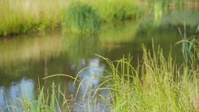 Swaying fresh green grass. Fresh green grass swaying in the wind, water of a creek in the background, main focus on the foreground with blurry background stock footage