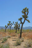 Swaying Joshua Trees Royalty Free Stock Images
