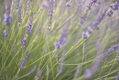Swaying lavender blossoms stock photo