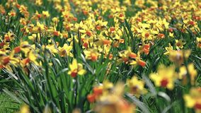 Swaying from the wind daffodils in the field, on a Sunny day. Swaying from the light wind daffodils in the field, on a Sunny day stock footage
