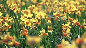 Swaying from the wind daffodils in the field, on a Sunny day. Swaying from the light wind daffodils in the field, on a Sunny day stock video footage